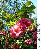 Купить «Цветущая яблоня», фото № 1392173, снято 13 мая 2009 г. (c) Наталья Лабуз / Фотобанк Лори