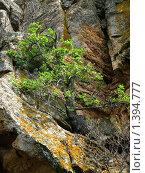 Дерево растущее из скалы. Стоковое фото, фотограф Оксана Кулиненко / Фотобанк Лори