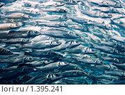Купить «Стая рыб, плывущих на нерест», фото № 1395241, снято 18 августа 2009 г. (c) Andrejs Pidjass / Фотобанк Лори