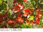 Цветёт Хеномелес японский. Стоковое фото, фотограф Виктор Вуколов / Фотобанк Лори