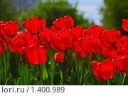 Купить «Красные  тюльпаны», фото № 1400989, снято 9 мая 2009 г. (c) Алёшина Оксана / Фотобанк Лори