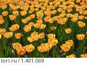 Купить «Желтые тюльпаны», фото № 1401069, снято 9 мая 2009 г. (c) Алёшина Оксана / Фотобанк Лори