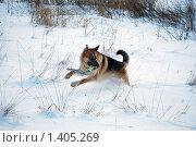 Купить «Овчарка играет на зимней прогулке», фото № 1405269, снято 3 января 2010 г. (c) Анастасия Некрасова / Фотобанк Лори