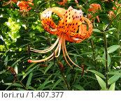 Тигровая лилия. Стоковое фото, фотограф Мишарин Константин / Фотобанк Лори