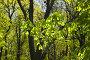 Ветви каштана весной, фото № 1410913, снято 24 апреля 2008 г. (c) Argument / Фотобанк Лори