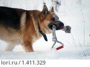 Купить «Овчарка играет на зимней прогулке», фото № 1411329, снято 3 января 2010 г. (c) Анастасия Некрасова / Фотобанк Лори