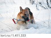 Купить «Овчарка играет на зимней прогулке», фото № 1411333, снято 3 января 2010 г. (c) Анастасия Некрасова / Фотобанк Лори