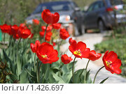 Классические голландские красные тюльпаны на фоне припаркованных автомашин. Стоковое фото, фотограф Галина Новикова / Фотобанк Лори