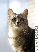 Купить «Серая кошка на светлом фоне», фото № 1436829, снято 26 января 2010 г. (c) Анастасия Некрасова / Фотобанк Лори