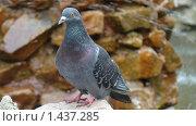 Купить «Сизый голубь сидит на камнях», фото № 1437285, снято 11 июля 2007 г. (c) Александр Шилин / Фотобанк Лори