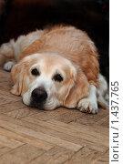 Купить «Печальный голден ретривер, лежащий на полу», фото № 1437765, снято 26 января 2010 г. (c) крижевская юлия валерьевна / Фотобанк Лори