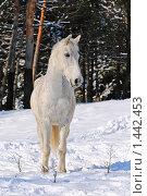 Серая в гречку лошадь в зимнем лесу. Стоковое фото, фотограф Титаренко Елена / Фотобанк Лори