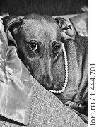 Собака в бусах. Стоковое фото, фотограф Сунгатулина Эльвира / Фотобанк Лори