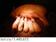Ночное кормление поросят свиноматкой. Стоковое фото, фотограф Дмитрий Милехин / Фотобанк Лори