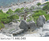 Крым, поселок Новый Свет. Сухое дерево. (2008 год). Стоковое фото, фотограф Андрей Спирин / Фотобанк Лори