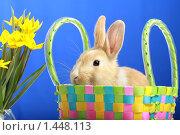 Купить «Кролик в корзине с желтыми тюльпанами», фото № 1448113, снято 15 апреля 2009 г. (c) Александр Паррус / Фотобанк Лори