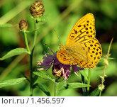 Купить «Перламутровка лесная на цветке», фото № 1456597, снято 21 июля 2007 г. (c) Александр Шилин / Фотобанк Лори