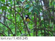 Купить «Большая синица на ветке», эксклюзивное фото № 1459245, снято 8 мая 2009 г. (c) Алёшина Оксана / Фотобанк Лори