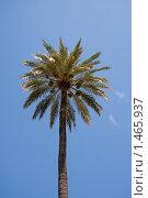 Купить «Пальма на фоне голубого неба», фото № 1465937, снято 2 августа 2009 г. (c) Рустам Шигапов / Фотобанк Лори