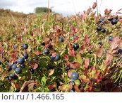 Купить «Черника (Vaccinium myrtillus)», фото № 1466165, снято 11 сентября 2006 г. (c) Евгений Ткачёв / Фотобанк Лори
