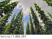 Купить «Поле хмеля», фото № 1466381, снято 30 июня 2009 г. (c) Владимир Овчинников / Фотобанк Лори