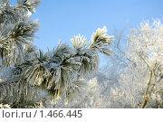 Иней на хвое в сильный мороз. Стоковое фото, фотограф Андрей Дегтярев / Фотобанк Лори