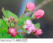 Купить «Цветущая яблоня», фото № 1468025, снято 25 апреля 2009 г. (c) Юрий Брыкайло / Фотобанк Лори