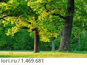 Купить «Дубы в утреннем свете», фото № 1469681, снято 20 мая 2006 г. (c) Владимир Блинов / Фотобанк Лори