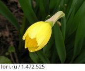 Купить «Нарцисс», фото № 1472525, снято 22 апреля 2007 г. (c) Кардаков Алексей Игоревич / Фотобанк Лори