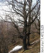Купить «Дуб», фото № 1472529, снято 10 апреля 2007 г. (c) Кардаков Алексей Игоревич / Фотобанк Лори
