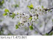 Ветка цветущей вишни. Стоковое фото, фотограф Толкачева Мария / Фотобанк Лори