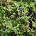 Черника. Ягоды и листья. Западные Саяны, Хакасия., фото № 1474169, снято 17 августа 2008 г. (c) Воу-воу-воу пам-па-рам / Фотобанк Лори