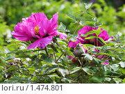Купить «Цветущий шиповник», фото № 1474801, снято 12 мая 2007 г. (c) Михаил Марковский / Фотобанк Лори