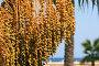Финиковая пальма, фото № 1484097, снято 9 августа 2007 г. (c) Елена Блохина / Фотобанк Лори