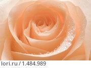 Купить «Роза», фото № 1484989, снято 5 декабря 2009 г. (c) Ольга Полякова / Фотобанк Лори