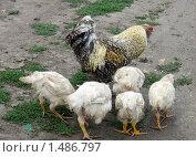 Купить «Петух в окружении курочек», фото № 1486797, снято 10 августа 2008 г. (c) Людмила Банникова / Фотобанк Лори