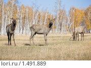 Купить «Олени», фото № 1491889, снято 4 октября 2008 г. (c) Евгений Гультяев / Фотобанк Лори
