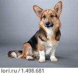 Купить «Собака. Вельш корги пемброк.», фото № 1498681, снято 16 января 2019 г. (c) Андрей Дегтярёв / Фотобанк Лори