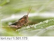 Купить «Конёк, Chorthippus sp», фото № 1501173, снято 31 июля 2009 г. (c) Михаил Ушаков / Фотобанк Лори