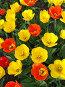 Тюльпаны, фото № 1501961, снято 16 мая 2007 г. (c) Светлана Арешкина / Фотобанк Лори