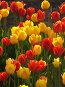 Тюльпаны в солнечных лучах, иллюстрация № 1501965 (c) Светлана Арешкина / Фотобанк Лори