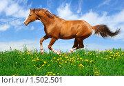 Купить «Рыжий тракененский жеребец скачет по полю», фото № 1502501, снято 28 мая 2009 г. (c) Абрамова Ксения / Фотобанк Лори