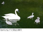 Лебедь и лебедята. Стоковое фото, фотограф Татьяна Вишнякова / Фотобанк Лори