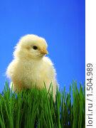 Купить «Цыпленок в зеленой траве на синем фоне», фото № 1504989, снято 26 апреля 2009 г. (c) Александр Паррус / Фотобанк Лори
