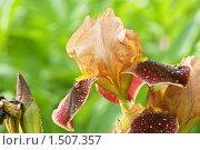 Купить «Ирис после дождя», фото № 1507357, снято 12 июня 2009 г. (c) Михаил Ушаков / Фотобанк Лори