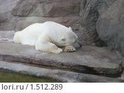 Спящий белый медведь. Стоковое фото, фотограф Татьяна Вишнякова / Фотобанк Лори