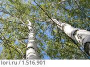 Купить «Березы на фоне голубого неба», фото № 1516901, снято 22 сентября 2007 г. (c) Михаил Борсов / Фотобанк Лори