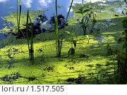 Местами освещённая ярким солнцем ряска на поверхности воды, в которой отражается кусочек неба. Стоковое фото, фотограф Евгений Мидаков / Фотобанк Лори