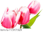 Купить «Букет тюльпанов», фото № 1517529, снято 17 февраля 2010 г. (c) Юрий Брыкайло / Фотобанк Лори