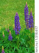 Купить «Люпин многолистный, Lupinus polyphyllus», эксклюзивное фото № 1518617, снято 5 июня 2009 г. (c) lana1501 / Фотобанк Лори
